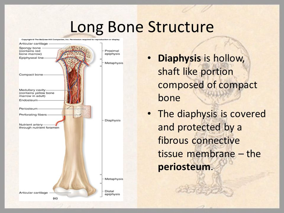 Long Bone Structure Diaphysis is hollow, shaft like portion composed of compact bone The diaphysis is covered and protected by a fibrous connective ti