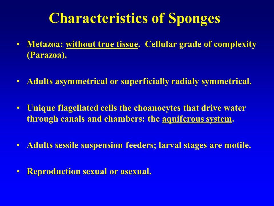 Calcarea Calcareous sponges Spicules composed of calcium carbonate Small < 10 cm tall