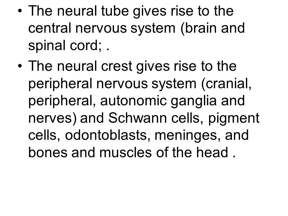 The neural tube gives rise to the central nervous system (brain and spinal cord;. The neural crest gives rise to the peripheral nervous system (crania