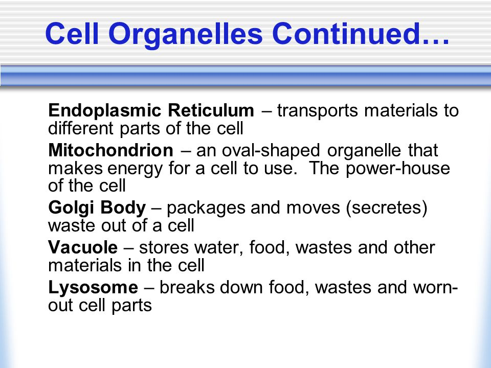 Cell Organelles Continued… Ribosomes – small, cell structures involved in the making of proteins Cell Membrane – the membrane that holds all the cell contents together Cytoplasm – the gel-like substance within the cell that supports the structures of the cell