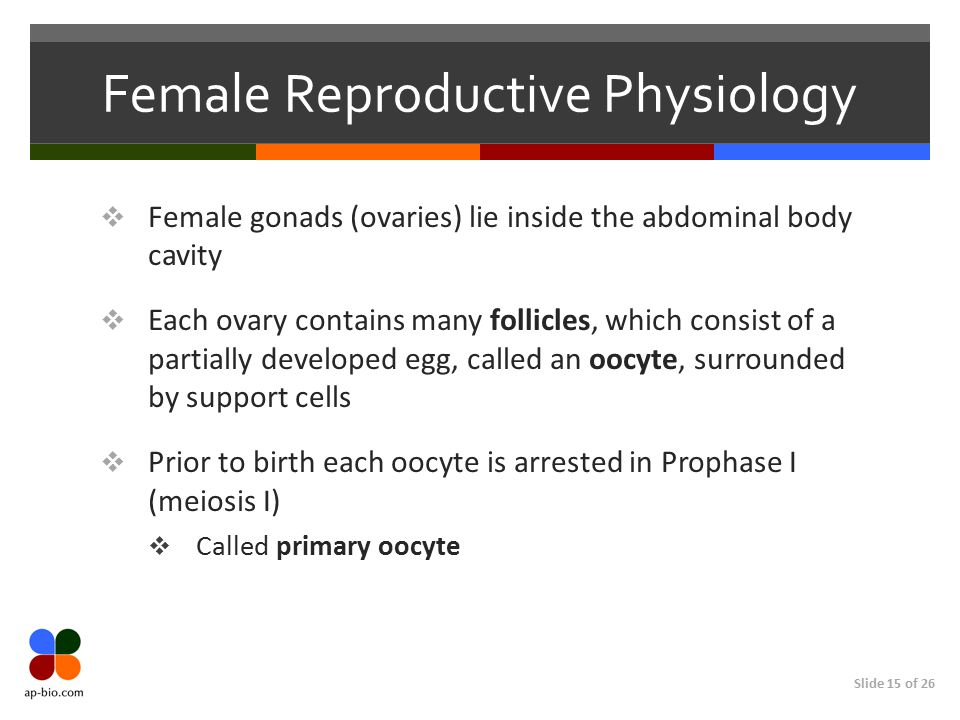 Slide 15 of 26 Female Reproductive Physiology  Female gonads (ovaries) lie inside the abdominal body cavity  Each ovary contains many follicles, whi