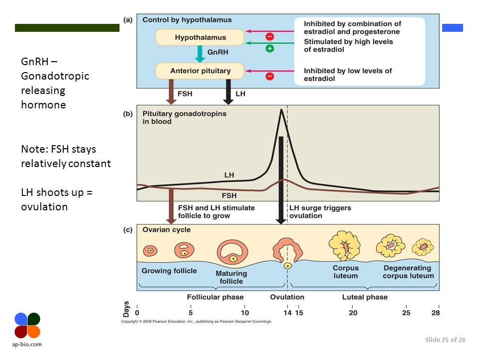 Slide 25 of 26 GnRH – Gonadotropic releasing hormone Note: FSH stays relatively constant LH shoots up = ovulation