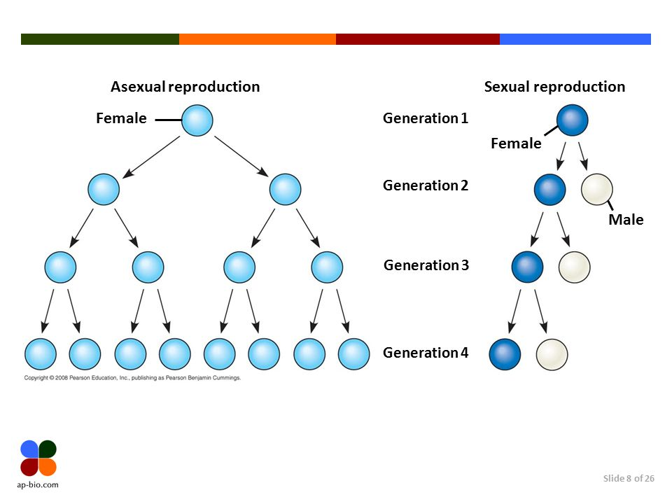 Slide 8 of 26 Asexual reproduction Female Sexual reproduction Female Generation 1 Male Generation 2 Generation 3 Generation 4