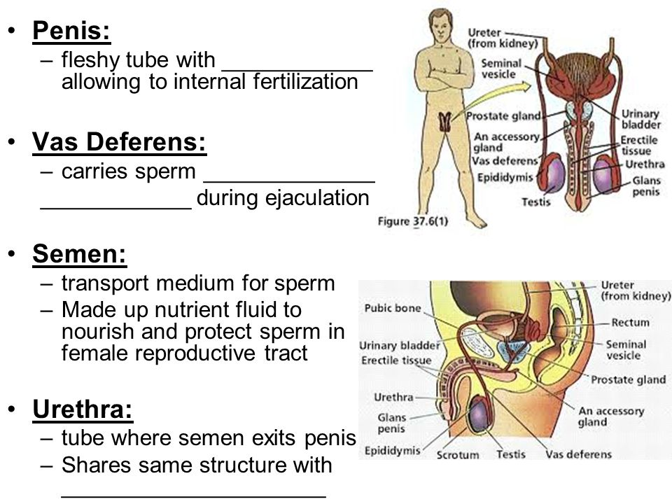Penis: –fleshy tube with ____________ allowing to internal fertilization Vas Deferens: –carries sperm ______________ ____________ during ejaculation S