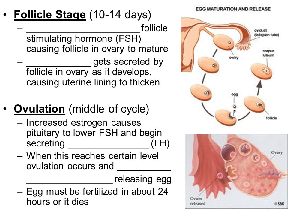 Follicle Stage (10-14 days) –_____________________ follicle stimulating hormone (FSH) causing follicle in ovary to mature –____________ gets secreted
