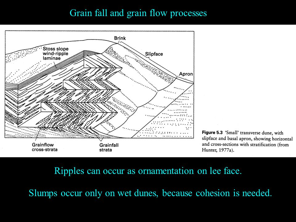 Grain fall and grain flow processes Ripples can occur as ornamentation on lee face.
