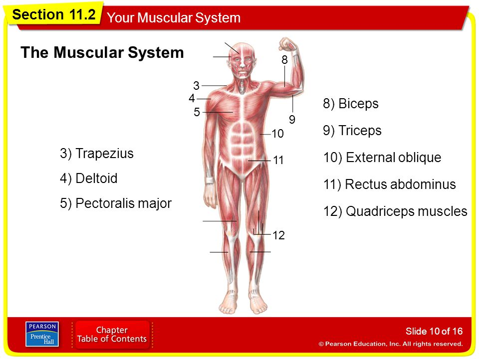 Section 11.2 Your Muscular System Slide 10 of 16 3 4 5 8 9 10 11 12 The Muscular System 3) Trapezius 4) Deltoid 5) Pectoralis major 8) Biceps 9) Triceps 10) External oblique 11) Rectus abdominus 12) Quadriceps muscles