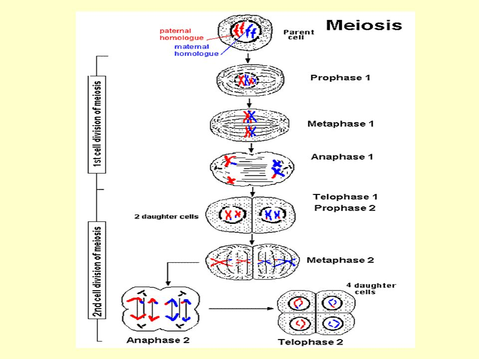 Meiosis 4 daughter cells produced Each daughter cell has half the chromosomes of the parent 2 sets of cell division involved