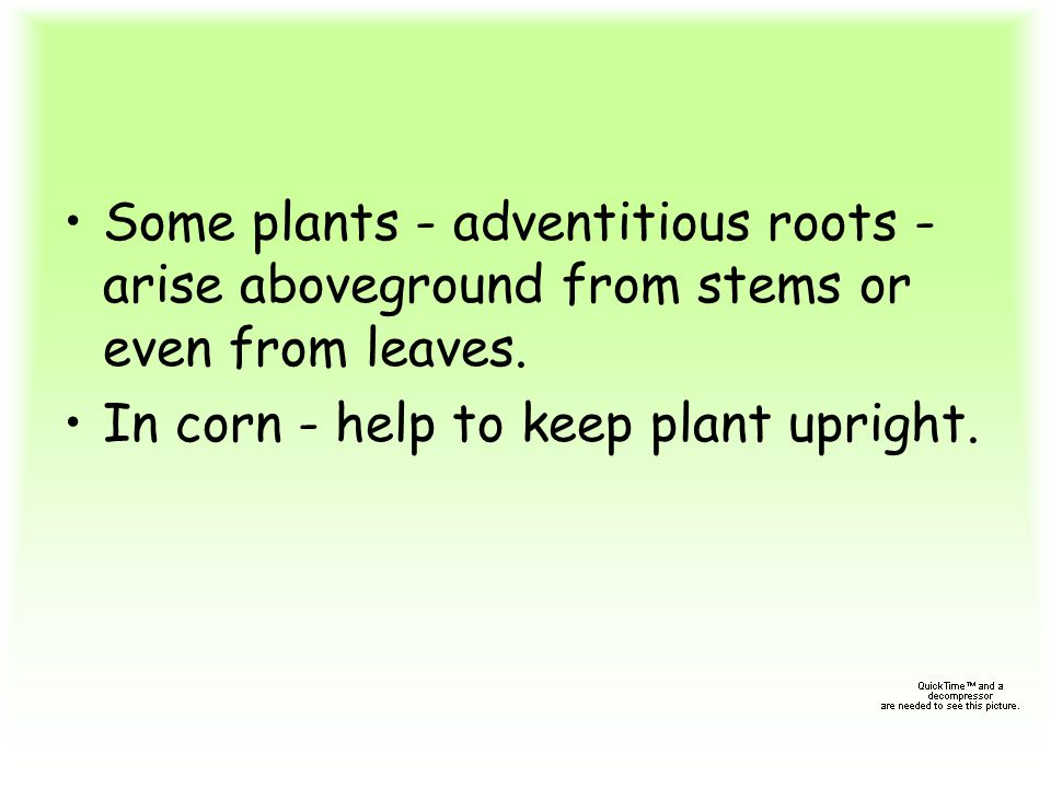 Some plants - adventitious roots - arise aboveground from stems or even from leaves. In corn - help to keep plant upright.