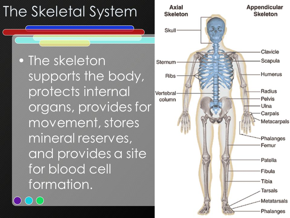 The skeleton supports the body, protects internal organs, provides for movement, stores mineral reserves, and provides a site for blood cell formation
