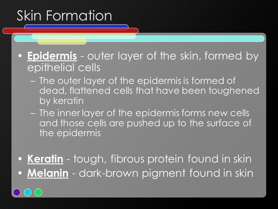 Skin Formation Epidermis - outer layer of the skin, formed by epithelial cells –The outer layer of the epidermis is formed of dead, flattened cells that have been toughened by keratin –The inner layer of the epidermis forms new cells and those cells are pushed up to the surface of the epidermis Keratin - tough, fibrous protein found in skin Melanin - dark-brown pigment found in skin