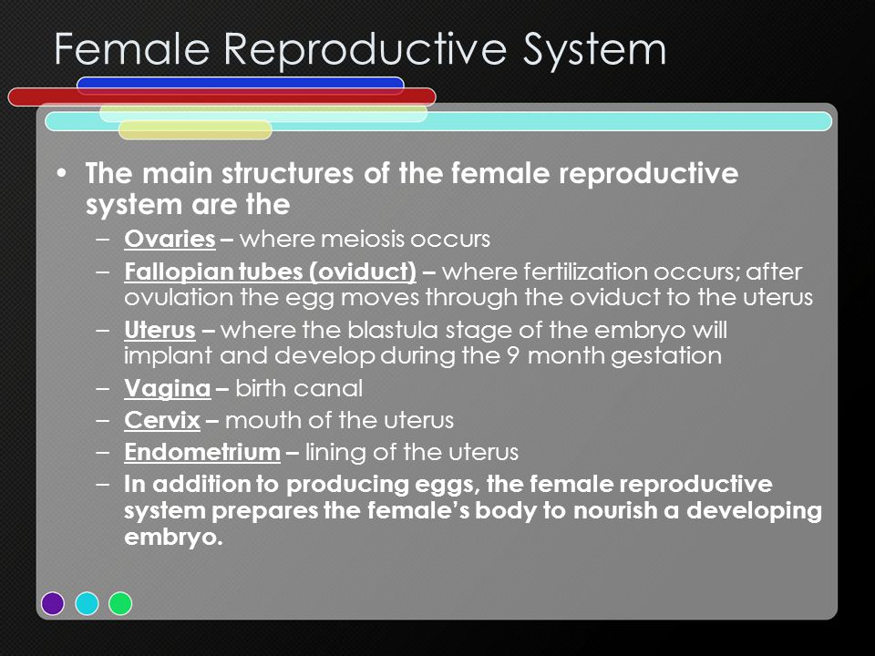 The main structures of the female reproductive system are the – Ovaries – where meiosis occurs – Fallopian tubes (oviduct) – where fertilization occurs; after ovulation the egg moves through the oviduct to the uterus – Uterus – where the blastula stage of the embryo will implant and develop during the 9 month gestation – Vagina – birth canal – Cervix – mouth of the uterus – Endometrium – lining of the uterus – In addition to producing eggs, the female reproductive system prepares the female's body to nourish a developing embryo.
