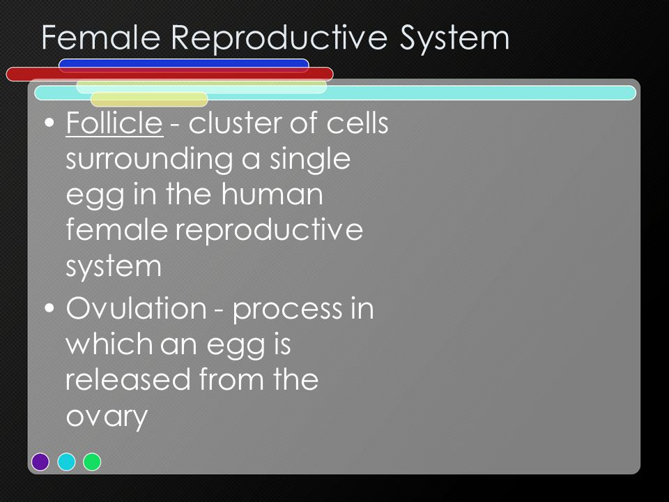 Female Reproductive System Follicle - cluster of cells surrounding a single egg in the human female reproductive system Ovulation - process in which an egg is released from the ovary
