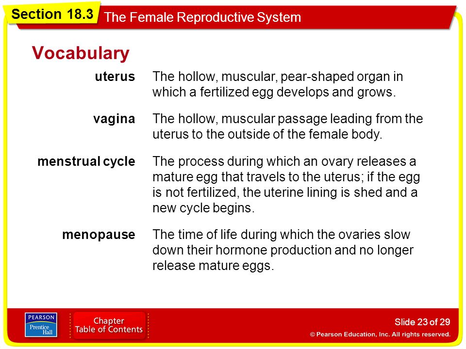 Section 18.3 The Female Reproductive System Slide 23 of 29 Vocabulary uterusThe hollow, muscular, pear-shaped organ in which a fertilized egg develops