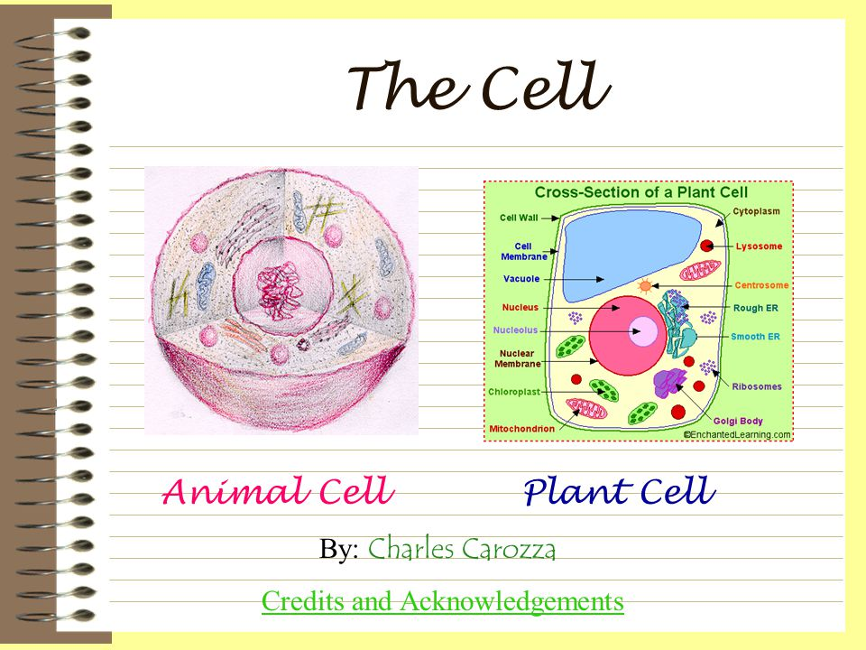 The Cell Animal CellPlant Cell By: Charles Carozza Credits and Acknowledgements