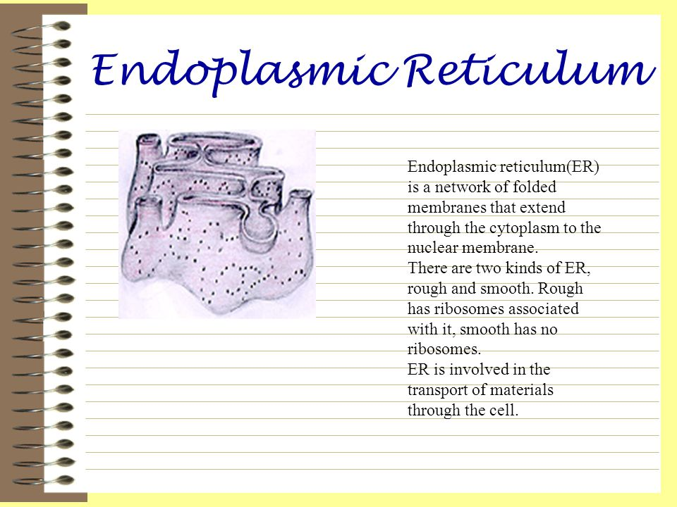 Endoplasmic Reticulum Endoplasmic reticulum(ER) is a network of folded membranes that extend through the cytoplasm to the nuclear membrane. There are