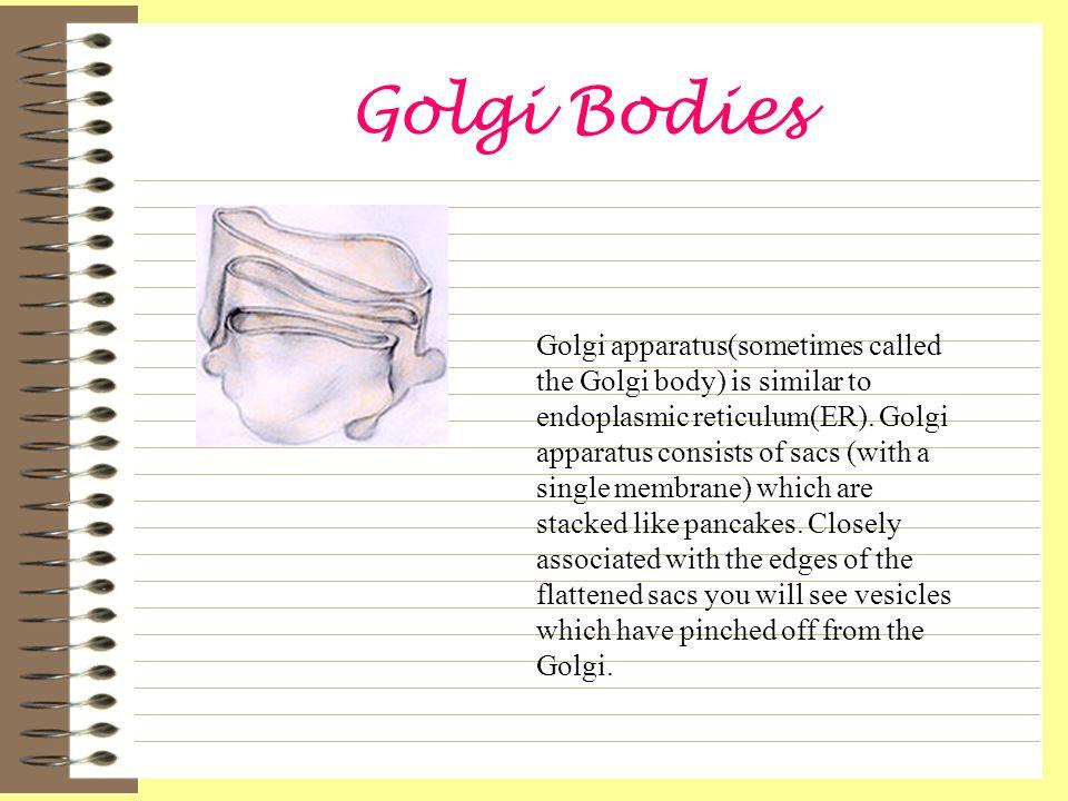 Golgi Bodies Golgi apparatus(sometimes called the Golgi body) is similar to endoplasmic reticulum(ER).