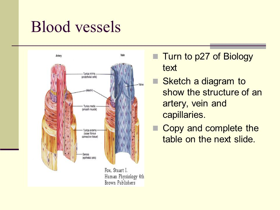 Blood vessels Turn to p27 of Biology text Sketch a diagram to show the structure of an artery, vein and capillaries.