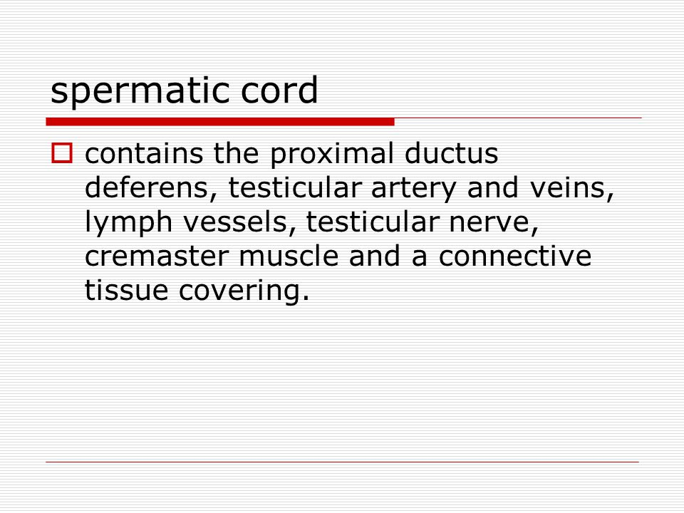 spermatic cord  contains the proximal ductus deferens, testicular artery and veins, lymph vessels, testicular nerve, cremaster muscle and a connective tissue covering.