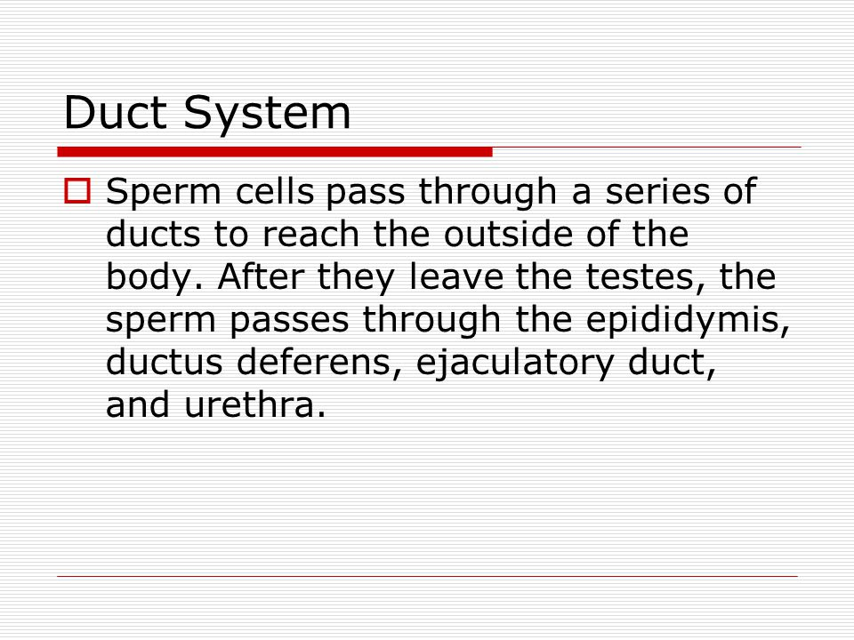 Duct System  Sperm cells pass through a series of ducts to reach the outside of the body.