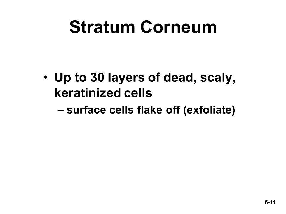 6-11 Stratum Corneum Up to 30 layers of dead, scaly, keratinized cells –surface cells flake off (exfoliate)