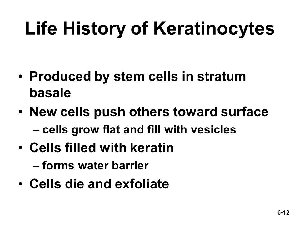 6-12 Life History of Keratinocytes Produced by stem cells in stratum basale New cells push others toward surface –cells grow flat and fill with vesicles Cells filled with keratin –forms water barrier Cells die and exfoliate
