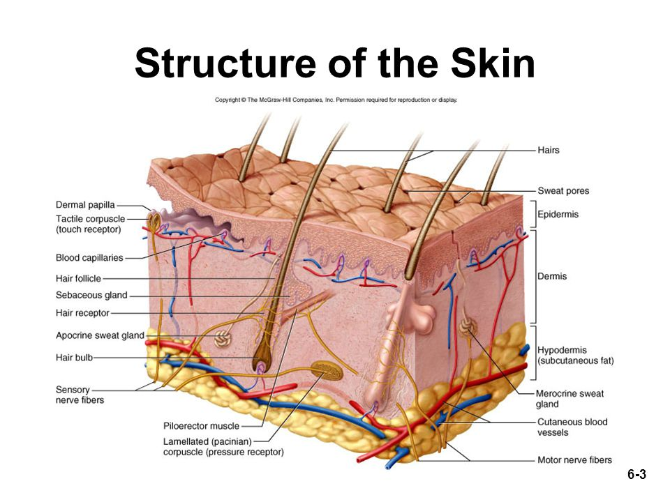 6-3 Structure of the Skin
