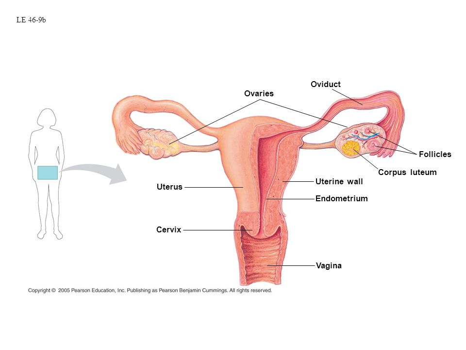 The Menstrual Cycle 4 phases –Phase 1: Follicular Phase –Phase 2: Ovulation –Phase 3: Luteal Phase –Phase 4: Menstruation