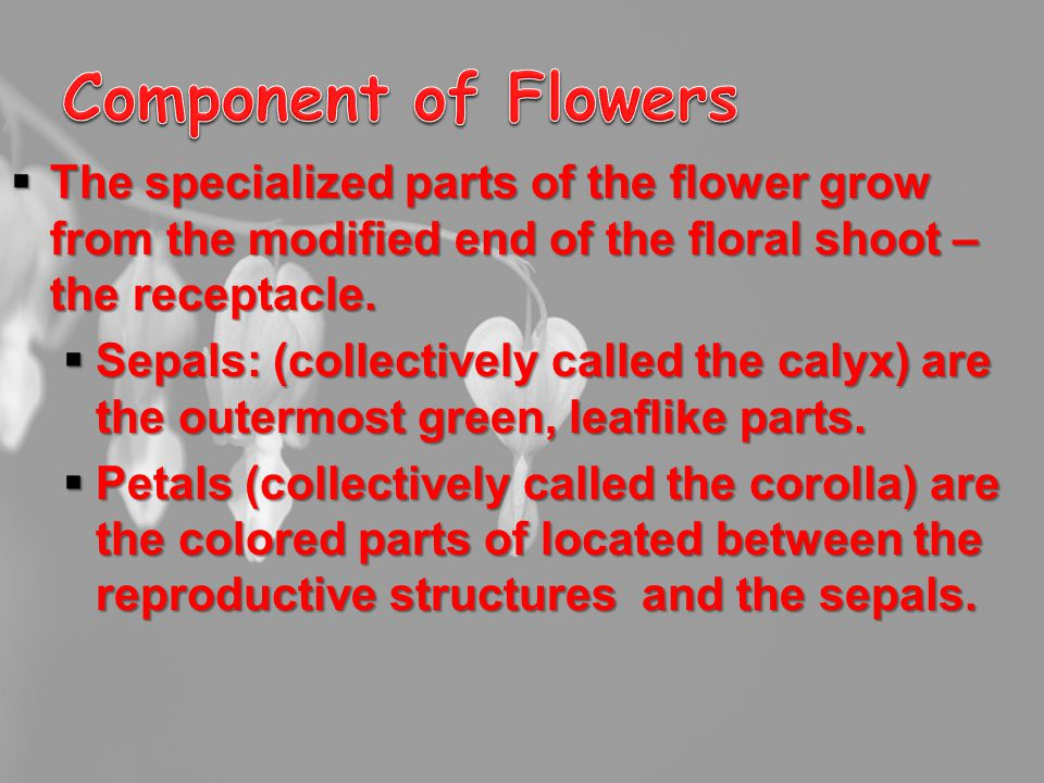  The specialized parts of the flower grow from the modified end of the floral shoot – the receptacle.