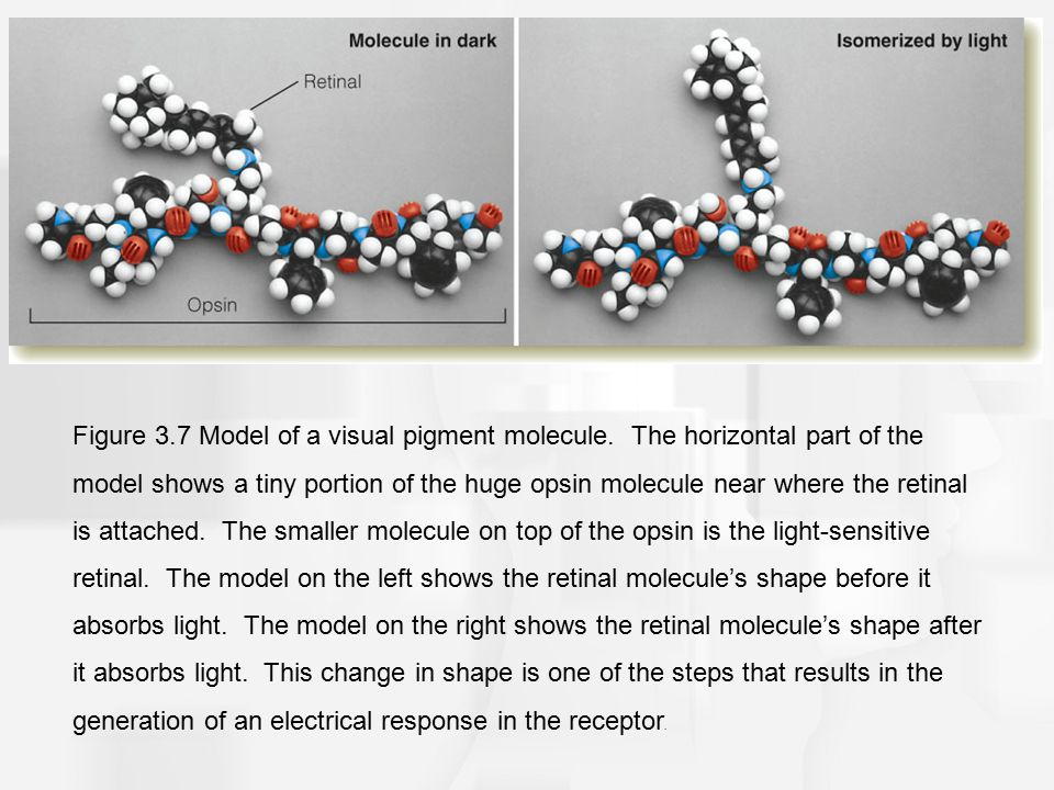 Figure 3.7 Model of a visual pigment molecule. The horizontal part of the model shows a tiny portion of the huge opsin molecule near where the retinal