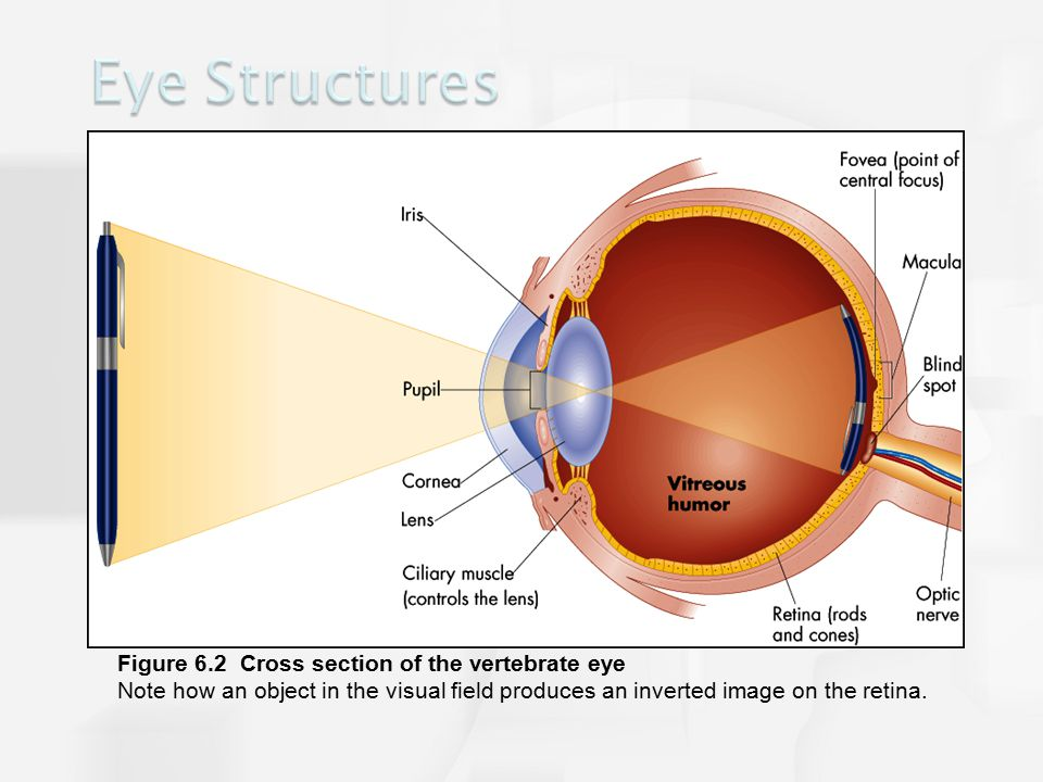 Figure 6.2 Cross section of the vertebrate eye Note how an object in the visual field produces an inverted image on the retina.