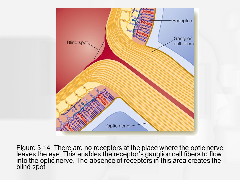 Figure 3.14 There are no receptors at the place where the optic nerve leaves the eye.