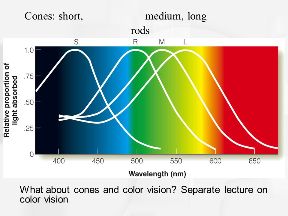 What about cones and color vision.Separate lecture on color vision.