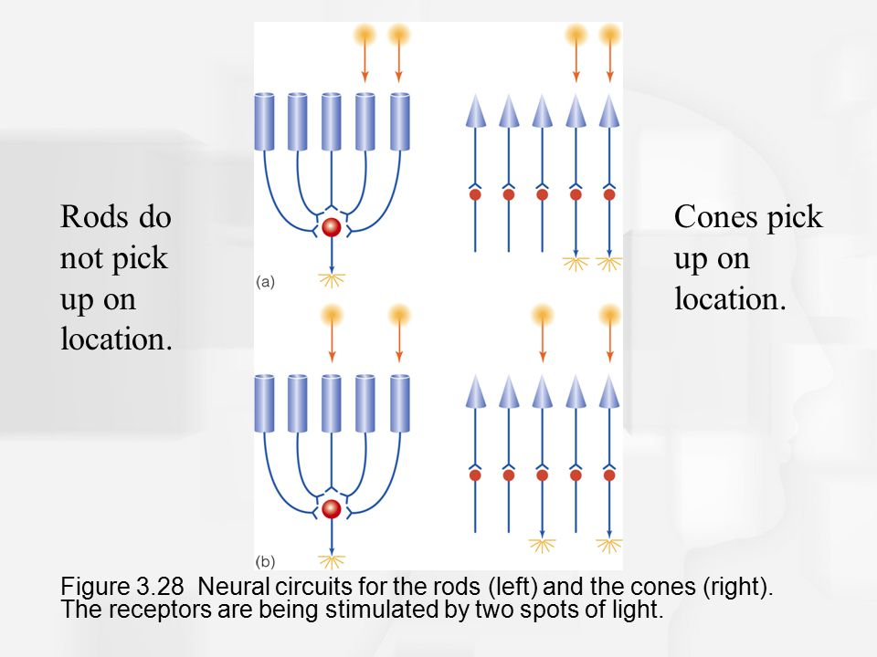 Figure 3.28 Neural circuits for the rods (left) and the cones (right).