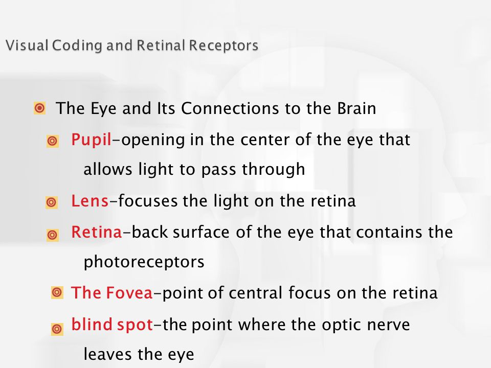 The Eye and Its Connections to the Brain Pupil-opening in the center of the eye that allows light to pass through Lens-focuses the light on the retina Retina-back surface of the eye that contains the photoreceptors The Fovea-point of central focus on the retina blind spot-the point where the optic nerve leaves the eye