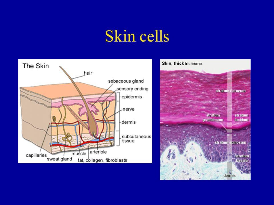 II.Diploid and Haploid Cells A.