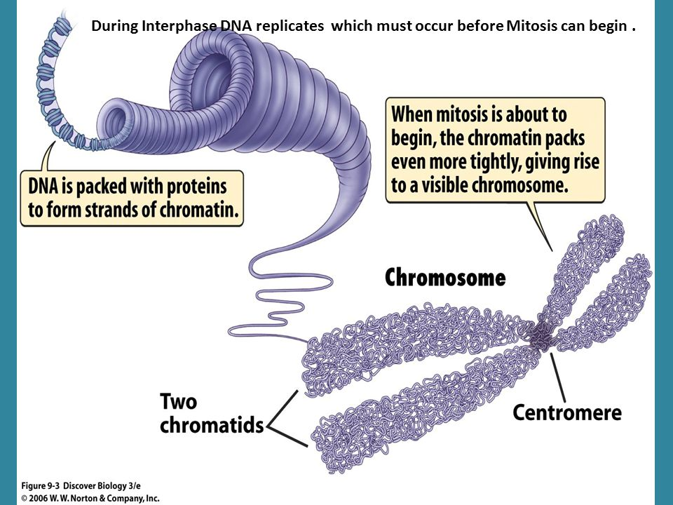 During Interphase DNA replicates which must occur before Mitosis can begin.