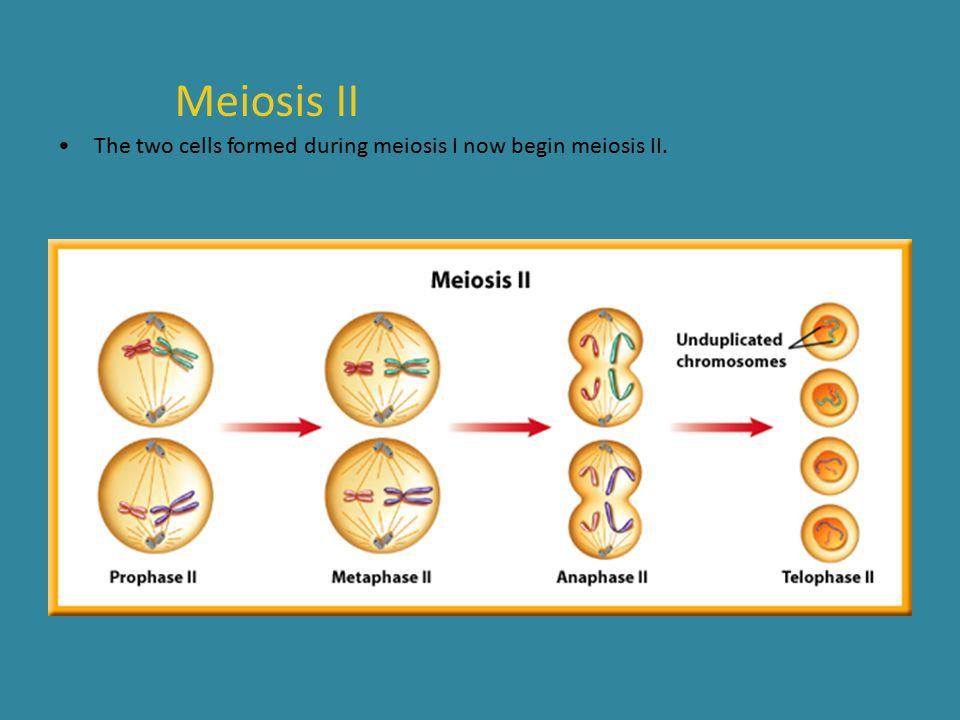 Meiosis II The two cells formed during meiosis I now begin meiosis II.