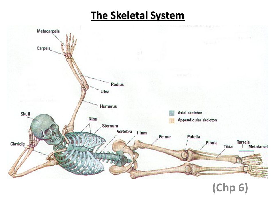 The Skeletal System (Chp 6)