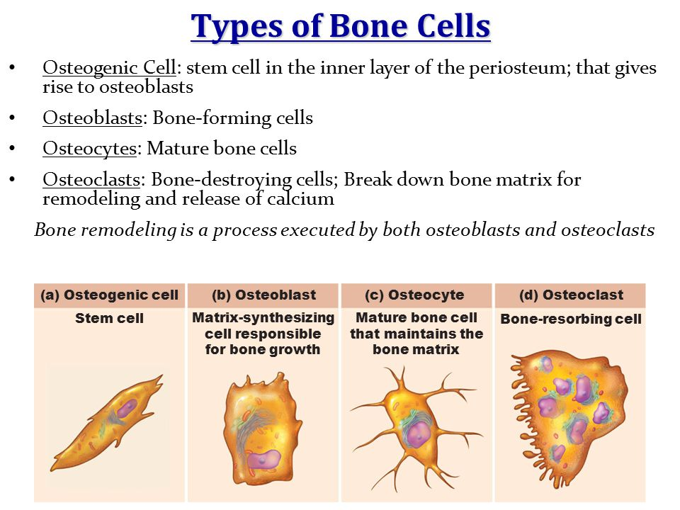 Types of Bone Cells Osteogenic Cell: stem cell in the inner layer of the periosteum; that gives rise to osteoblasts Osteoblasts: Bone-forming cells Os