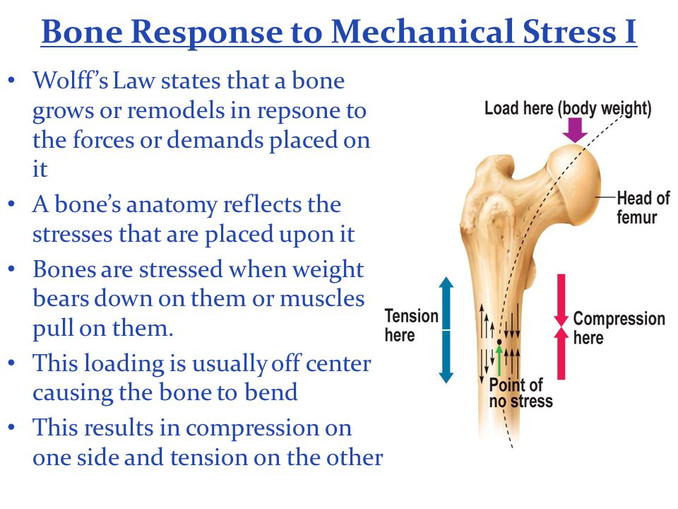 Bone Response to Mechanical Stress I Wolff's Law states that a bone grows or remodels in repsone to the forces or demands placed on it A bone's anatom