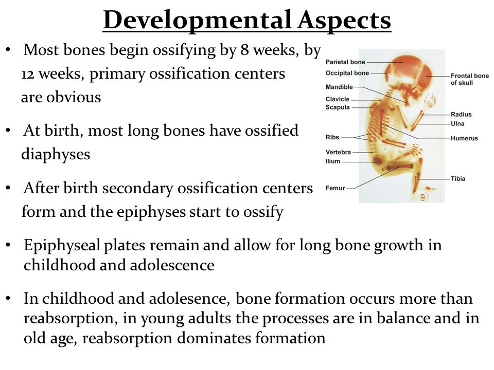 Developmental Aspects Most bones begin ossifying by 8 weeks, by 12 weeks, primary ossification centers are obvious At birth, most long bones have ossi