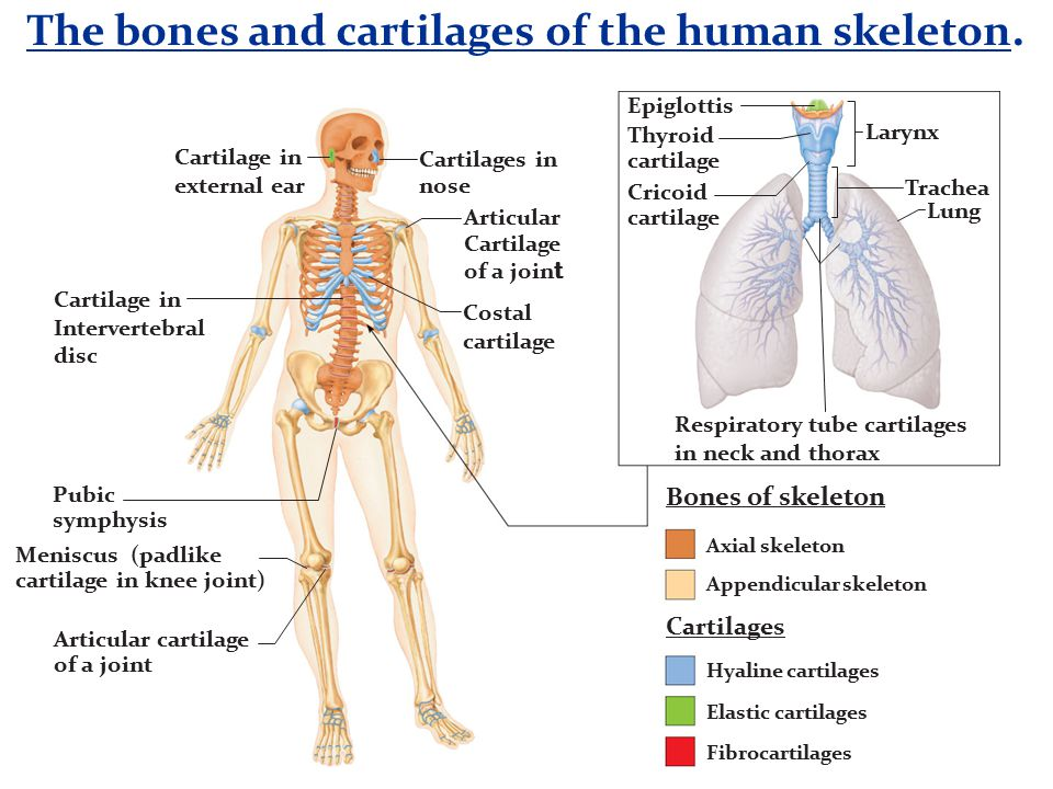 The bones and cartilages of the human skeleton. Axial skeleton Appendicular skeleton Hyaline cartilages Elastic cartilages Fibrocartilages Cartilages