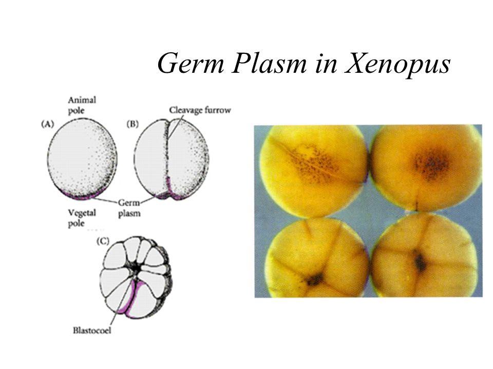 Germ Plasm in Xenopus
