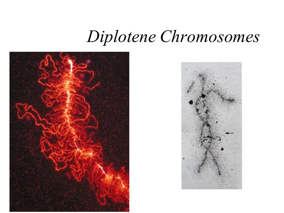 Diplotene Chromosomes