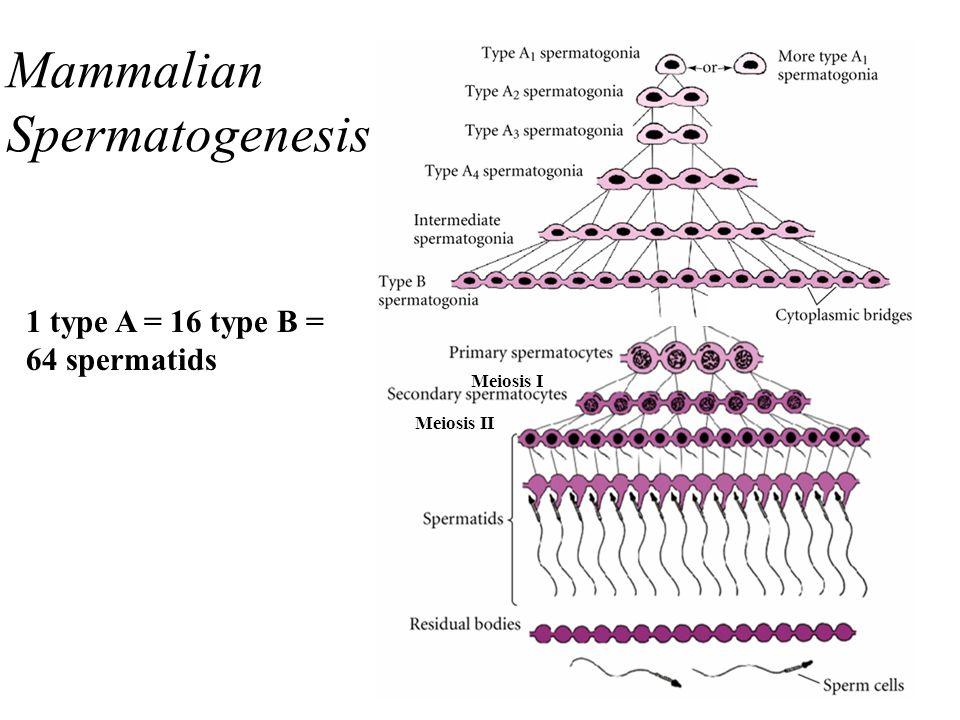 Mammalian Spermatogenesis 1 type A = 16 type B = 64 spermatids Meiosis I Meiosis II