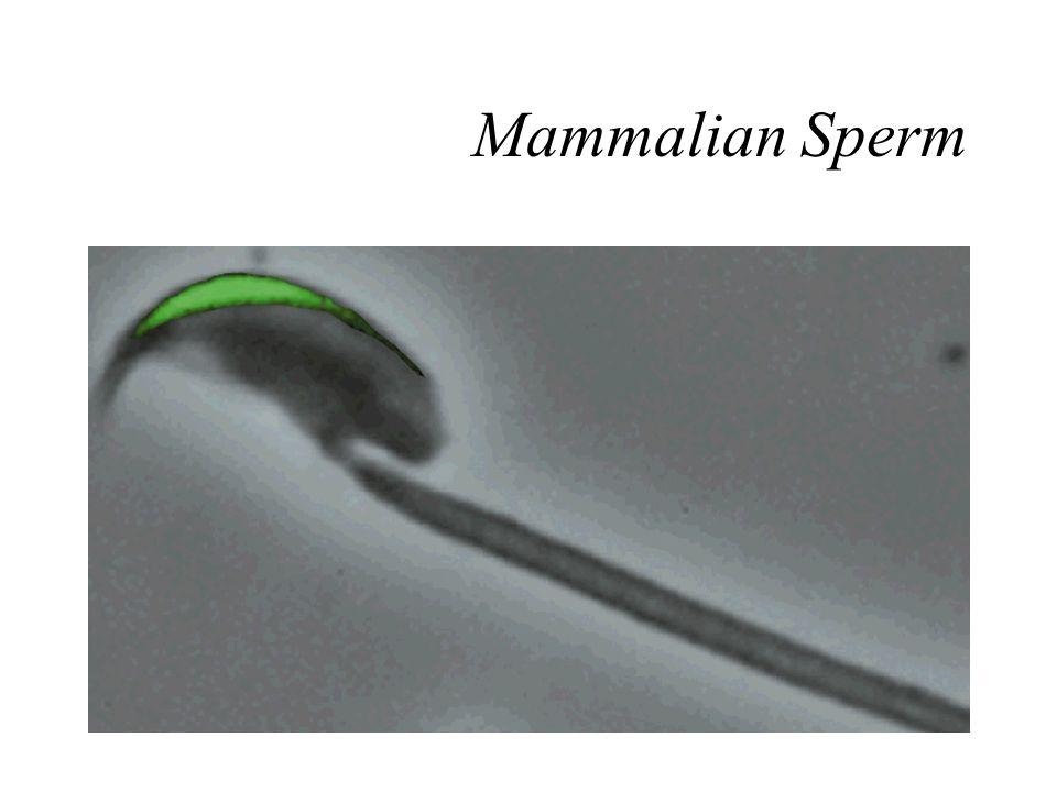 Mammalian Sperm