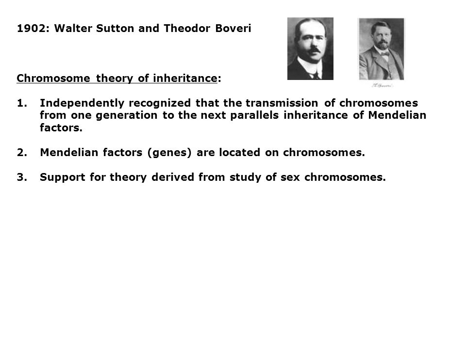 1902: Walter Sutton and Theodor Boveri Chromosome theory of inheritance: 1.Independently recognized that the transmission of chromosomes from one generation to the next parallels inheritance of Mendelian factors.