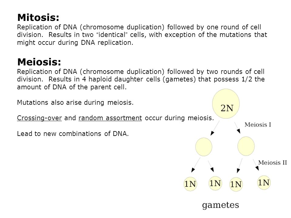 Mitosis: Replication of DNA (chromosome duplication) followed by one round of cell division.