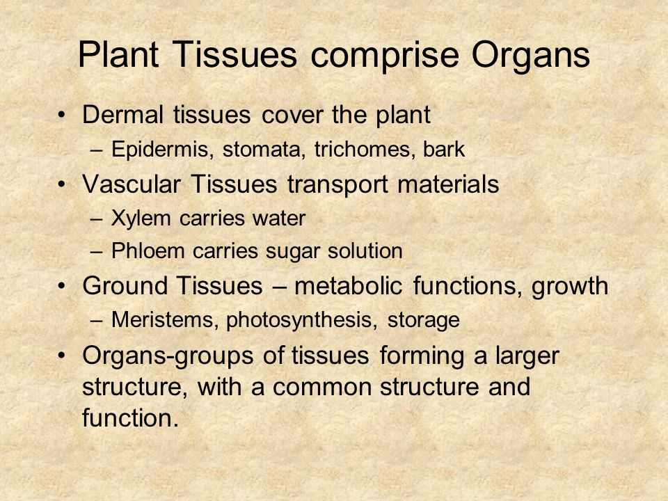 Plant Tissues comprise Organs Dermal tissues cover the plant –Epidermis, stomata, trichomes, bark Vascular Tissues transport materials –Xylem carries water –Phloem carries sugar solution Ground Tissues – metabolic functions, growth –Meristems, photosynthesis, storage Organs-groups of tissues forming a larger structure, with a common structure and function.